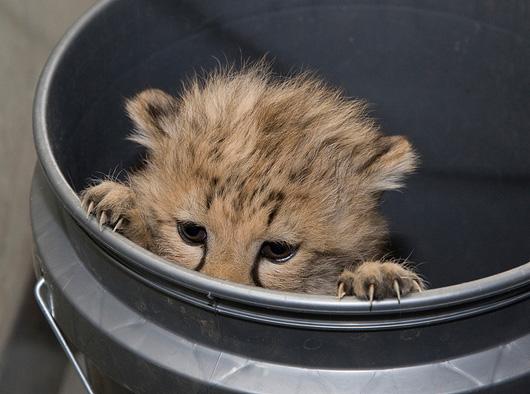 Baby cheetah in a bucket